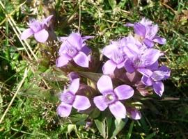casse montagne - plantes & fleurs auvergne